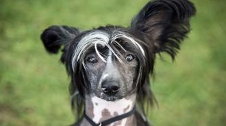 A Chinese Crested during the Darlington Dog Society Annual Show, at Ripon Racecourse in Yorkshire